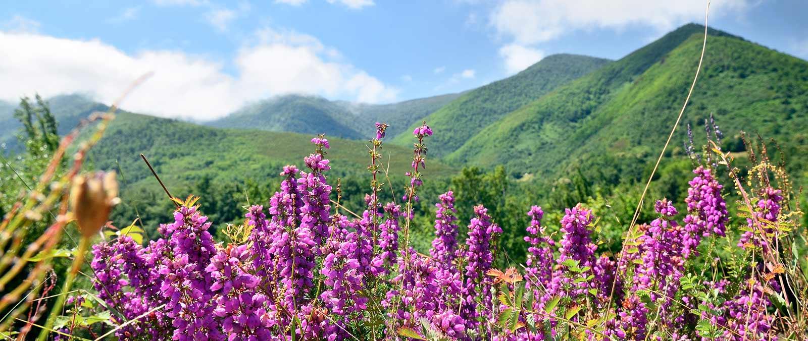 El Brezo (Erica cinerea) tapiza los suelos del el Parque Natural de las Fuentes del Narcea, Degaña e Ibias, Asturias