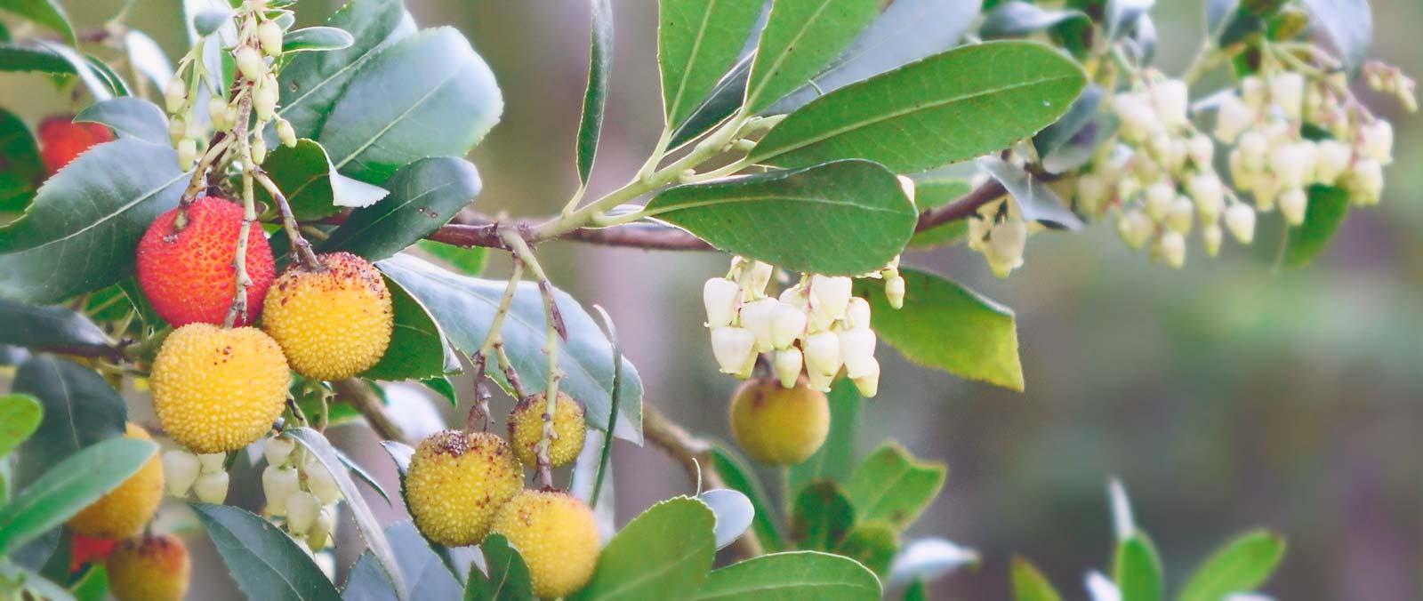 Miel de Madroño. Las flores y frutos de los Madroños (Arbutus unedo) dan color a finales del otoño en el Parque Natural de las Fuentes del Narcea, Degaña e Ibias, Asturias.
