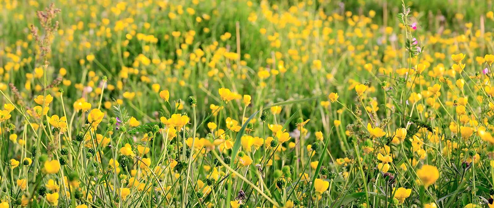 Miel Multifloral. Floración de pradera en la zona central de Asturias